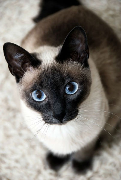 cuidados gato siames