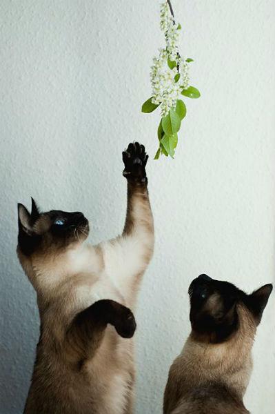 comportamento Gato siamês