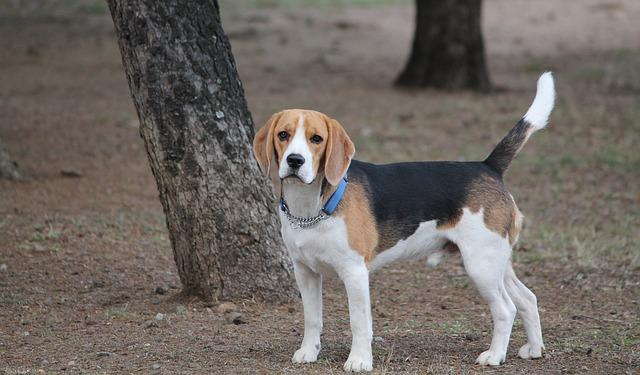 raças-de-cães-beagle-árvore