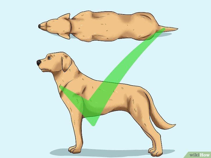 Peso e estrutura correta do cachorro