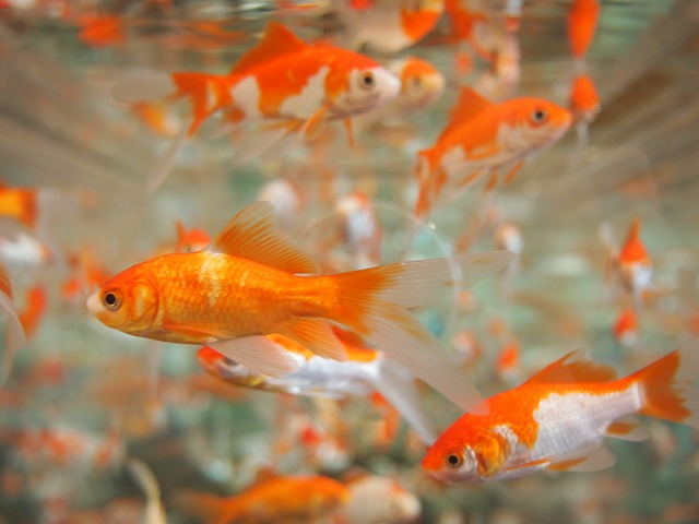como alimentar peixe corretamente
