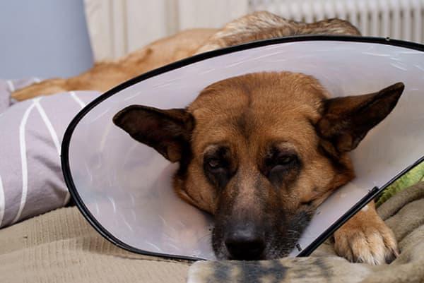 Recuperação do cachorro após castração
