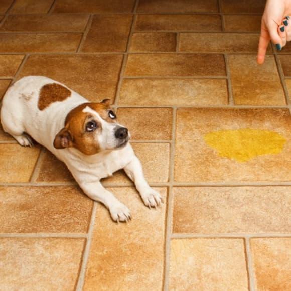 como ensinar cachorro a fazer xixi