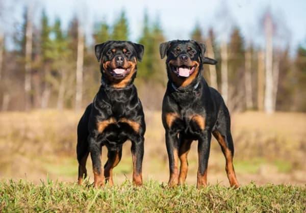 A importância da socialização do Rottweiler