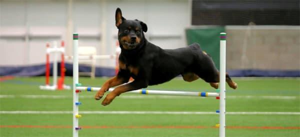 Adestramento de Rottweiler com métodos avançados