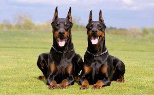 como fazer o adestramento dos cães