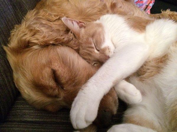 pulgas em cães e gatos