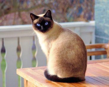 remédios para pulgas em gatos