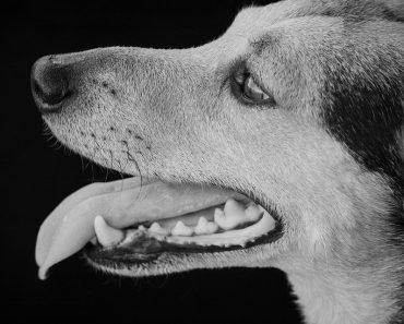 tártaro em cães