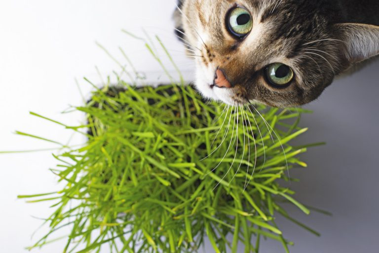 Erva para Gatos